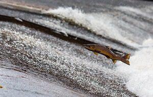 salmon-1107404__340