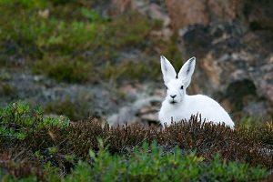 arctic-hare-828994__340