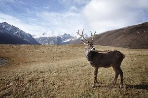 caribou-1030864__340