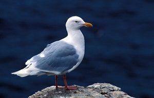 glaucous-gull-1107163__340