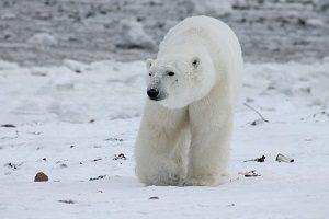 polar-bear-404317__340