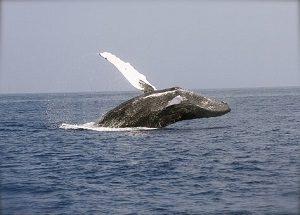 whale-2678819__340