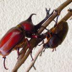 カブトムシが交尾後に死ぬのはなぜ?産卵成功のためにも知っておこう