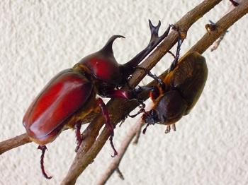 カブトムシ交尾