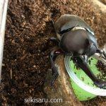 カブトムシの臭い対策!バッチリ効果が出た方法を紹介するよ!