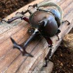 カブトムシのオス同士が交尾をする!同じケースで飼うのは絶対ダメ!