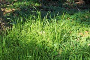 イネ科の雑草