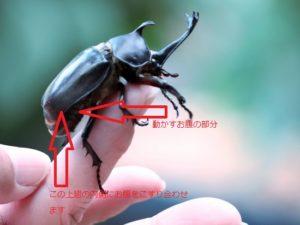 カブトムシが鳴くときに使う体の部分