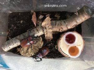 飼育ケース小でカブトムシ2匹を飼う