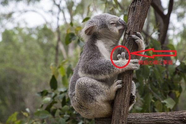 コアラの手の部分
