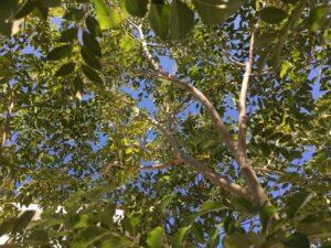 シマトネリコの葉